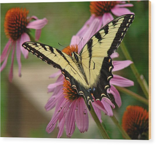 Swallowtail 1 Tn Wood Print