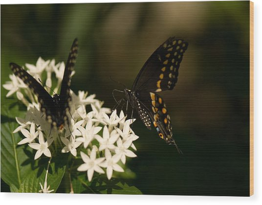 Swallowtail Butterflies At The Lincoln Wood Print