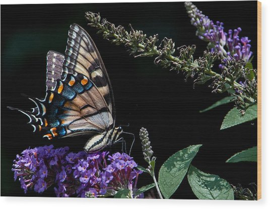 Swallowtail Posing Wood Print by Ron Plasencia