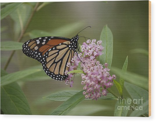 Swamp Milkweed Monarch Wood Print