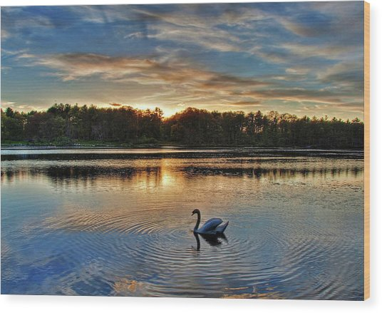 Swan At Sunset Wood Print