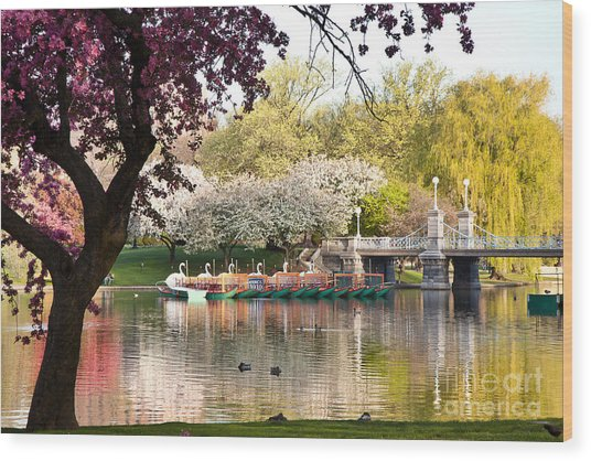 Swan Boats With Apple Blossoms Wood Print
