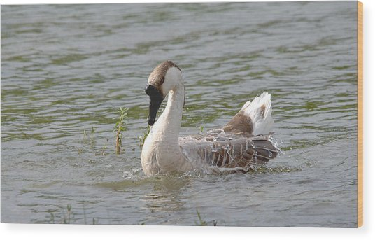 Swan Goose Splish Splash Wood Print