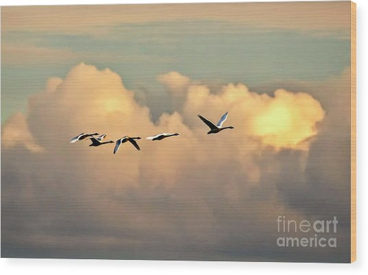 Swan Heaven Wood Print