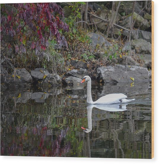 Swan In Autumn Reflections Wood Print