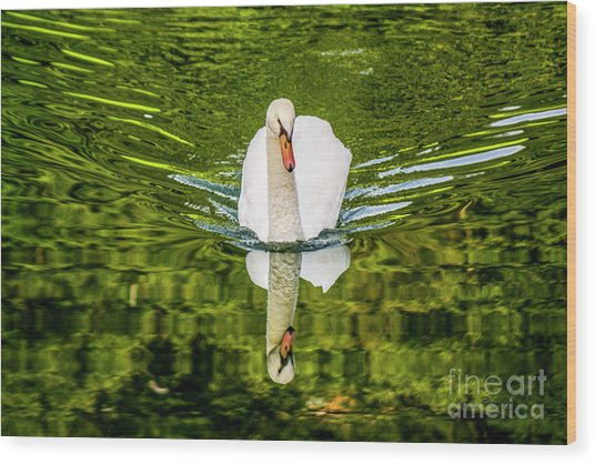 Swan Lake Nature Photo 892 Wood Print