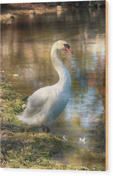 Swan Portrait Wood Print