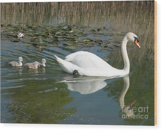 Swan Scenic Wood Print