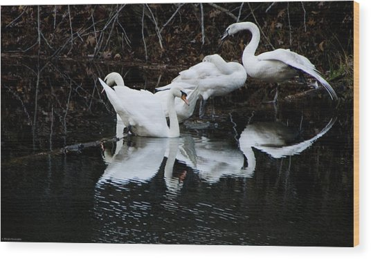 Swans And Snow Geese Wood Print