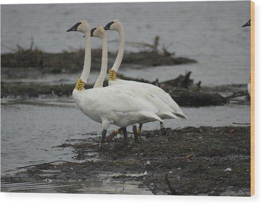 Swans Line Dancing Wood Print