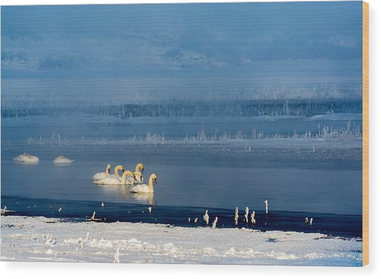 Swans On The Lake Wood Print