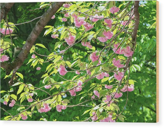 Sweeping Cherry Blossom Branches Wood Print