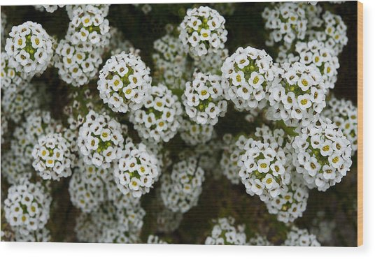 Sweet Alyssum Wood Print