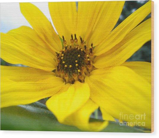 Sweet Sunflower Wood Print