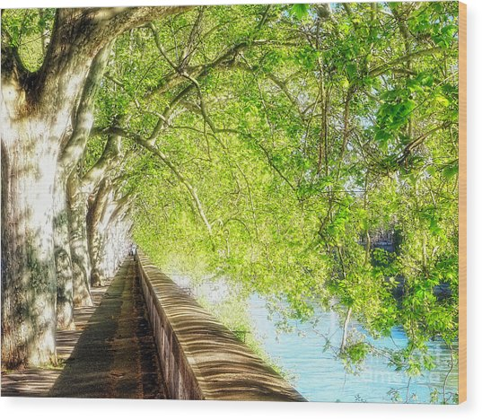 Sycamore Trees Along The Tiber River Wood Print by George Oze