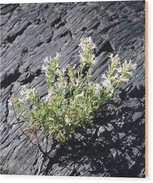 T-107709 Hot Rock Penstemon Wood Print