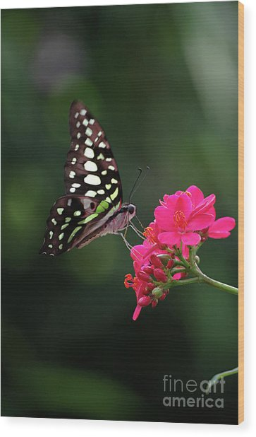 Tailed Jay Butterfly -graphium Agamemnon- On Pink Flower Wood Print