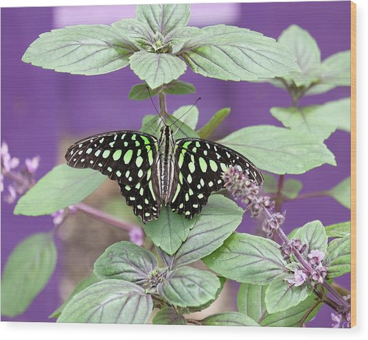 Tailed Jay Butterfly In Puple Wood Print