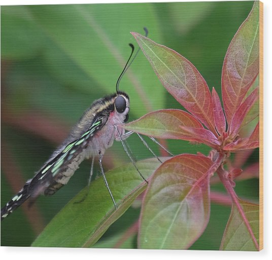 Tailed Jay Butterfly Macro Shot Wood Print