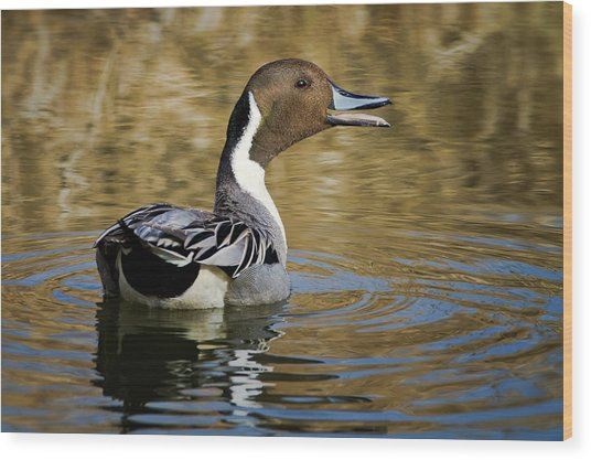 Talking Pintail Wood Print