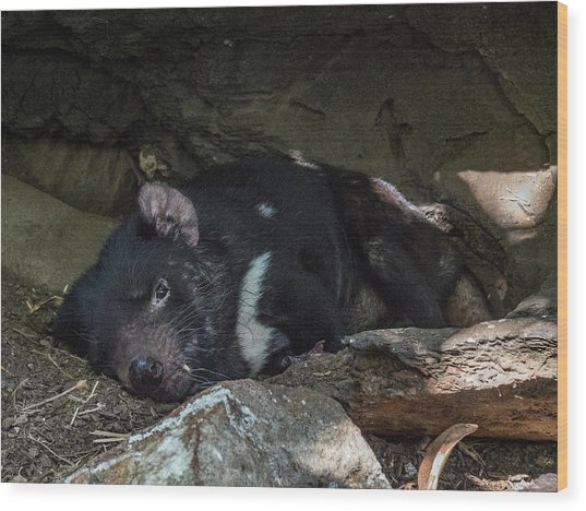 Tasmanian Devil Wood Print