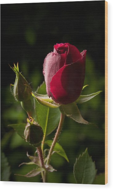 Tea Rose Bud Wood Print
