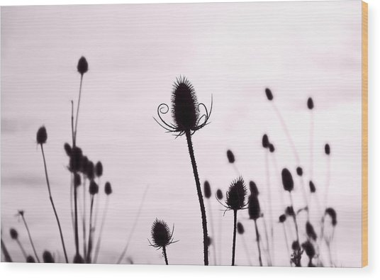 Teasels In A French Field  II Wood Print by Gareth Davies