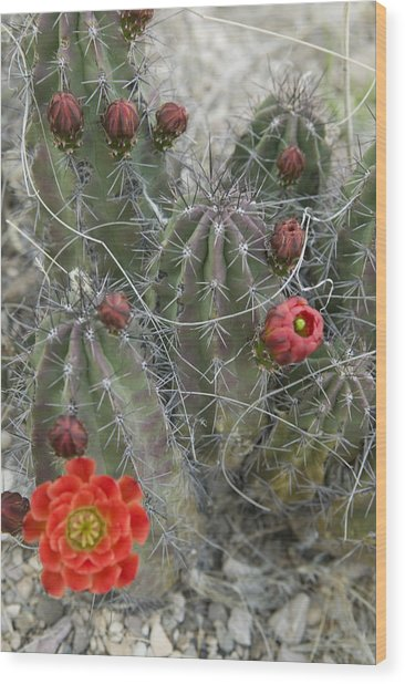 Terlingua Desert Blooms Wood Print by Clyde Replogle