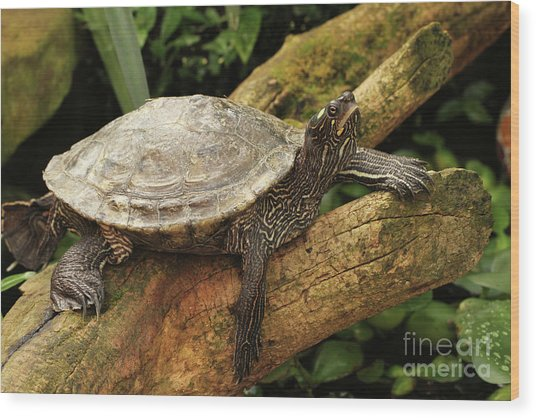 Tess The Map Turtle #3 Wood Print