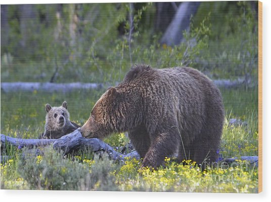 Teton Grizzly Mama And Cub Wood Print