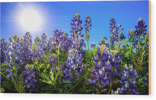 Texas Bluebonnets Backlit II Wood Print