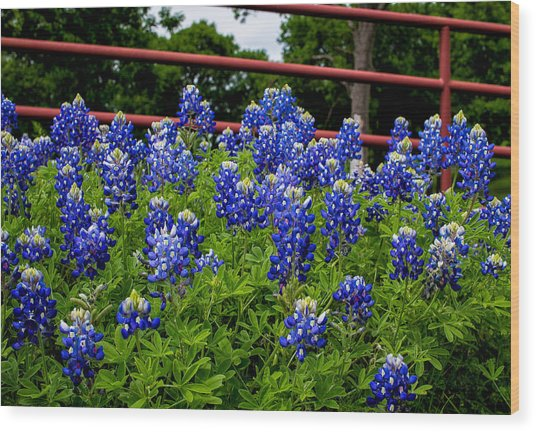 Texas Bluebonnets In Ennis Wood Print