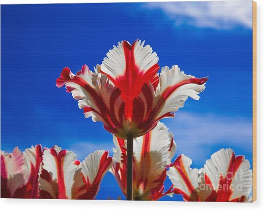 Texas Flame Parrot Tulip Wood Print