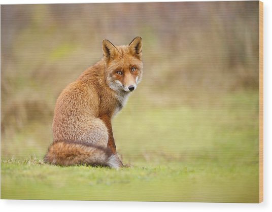 That Look - Red Fox Male Wood Print