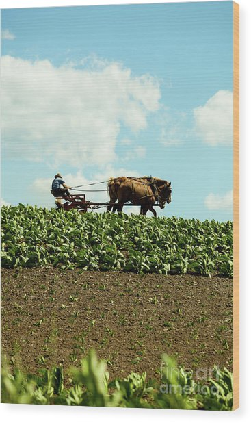 The Amish Farmer With Horses In Tobacco Field Wood Print