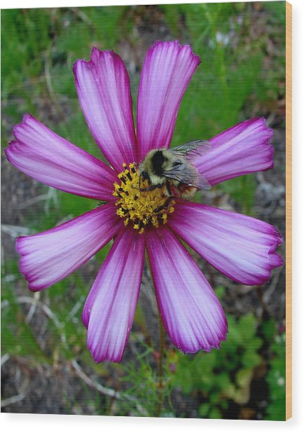 The Bee And A Pink Cosmos Wood Print by Ed Mosier