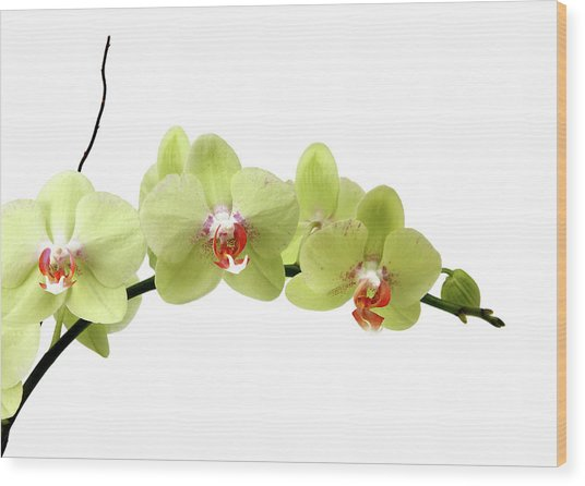 The Branch Of A Flowering Orchid Wood Print by Nicholas Eveleigh