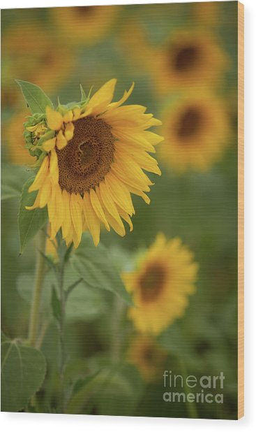The Close Up Of Sunflowers Wood Print