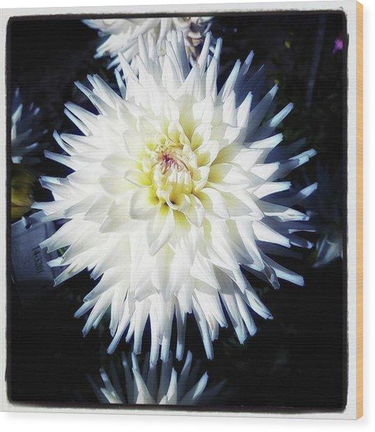 The Devoted Dahlia. The White Dahlia Wood Print by Mr Photojimsf