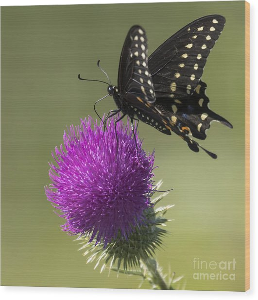 The Eastern Black Swallowtail  Wood Print