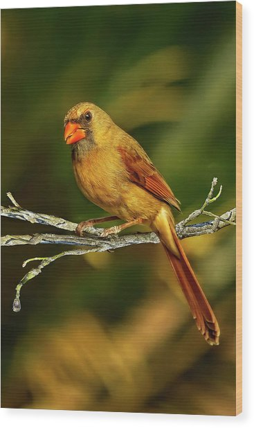 The Female Cardinal Wood Print
