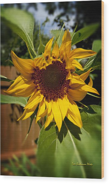 The First Sunflower Wood Print