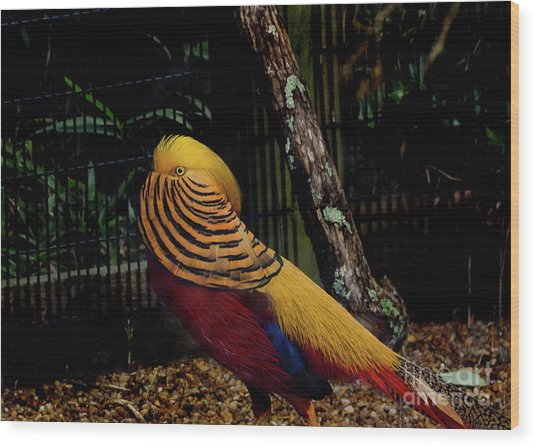 The Golden Pheasant Or Chinese Pheasant -atlanta Ga, Zoo Wood Print