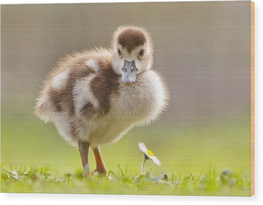 The Gosling And The Flower Wood Print