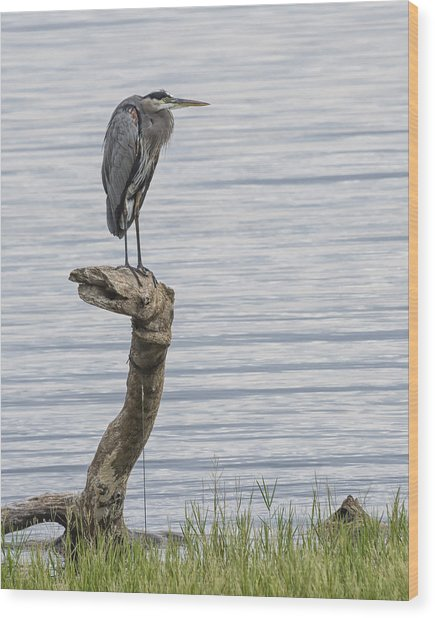 The Herons Pearch  Wood Print