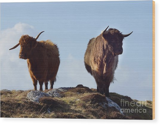 The Highland Cows Wood Print