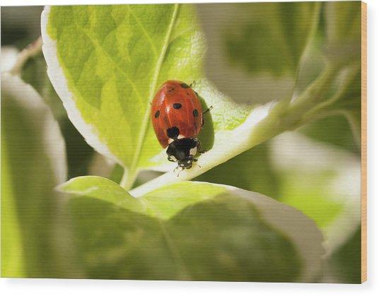 The Ladybug  Wood Print