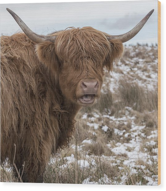 The Laughing Cow, Scottish Version Wood Print
