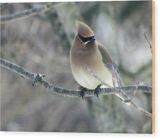 The Masked Cedar Waxwing Wood Print
