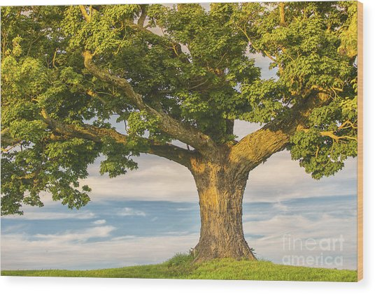 The Mighty Maple Wood Print